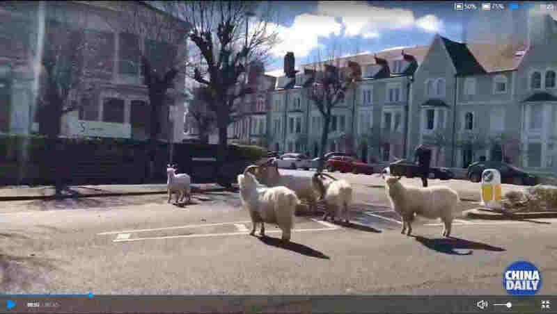 疫情之下 野山羊走上英国空荡街头
