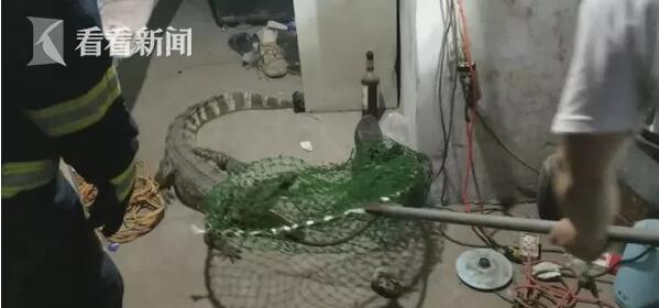119吗?我床边趴着条鳄鱼,一米多长,快来救我!