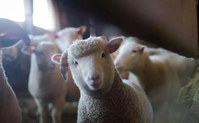 美科学家创造人羊杂交体,或解决器官短缺难题,引巨大争议!