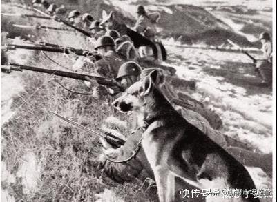 抗战时中国土狗反制日军军犬,厉害