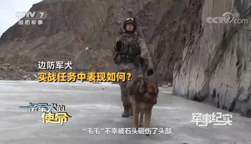 加勒万河谷中解放军英勇的军犬叫毛毛 冲突中被石头砸伤